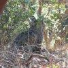 A bobcat[1]